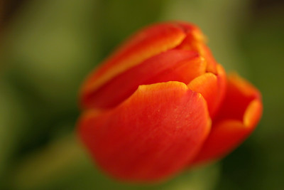 Tulip, Bellingham, Washington