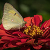 Butterfly on Zinnia 3534