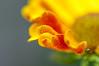 Helenium petals 2