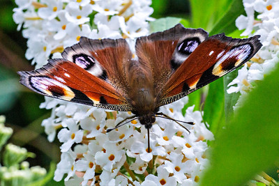 Peacock Butterfly Feeding On White Buddliea