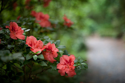 19/52 - Azaleas in bloom at the gardens at UNCC.