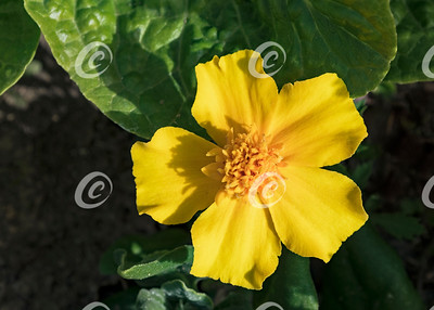 Yellow Dwarf Marigold and Lettuce