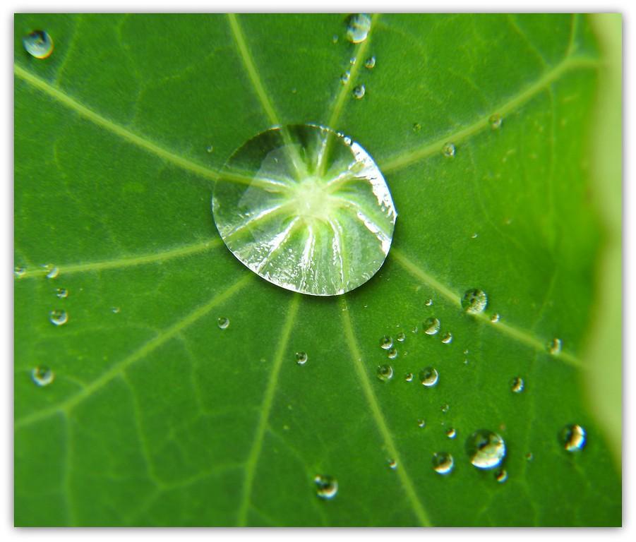 Raindrops on Nasturtium