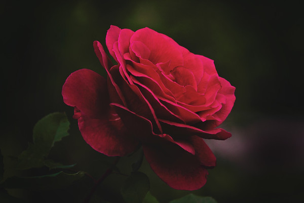 Clydes Rose 300