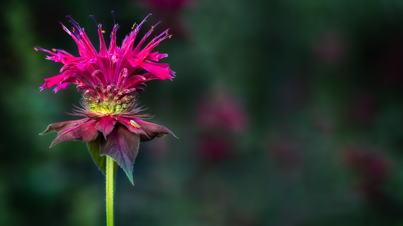 The Realm of Bee Balm