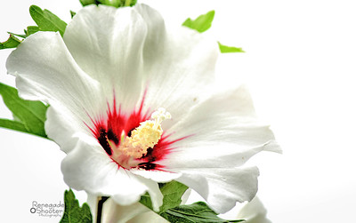 white rose of sharon-
