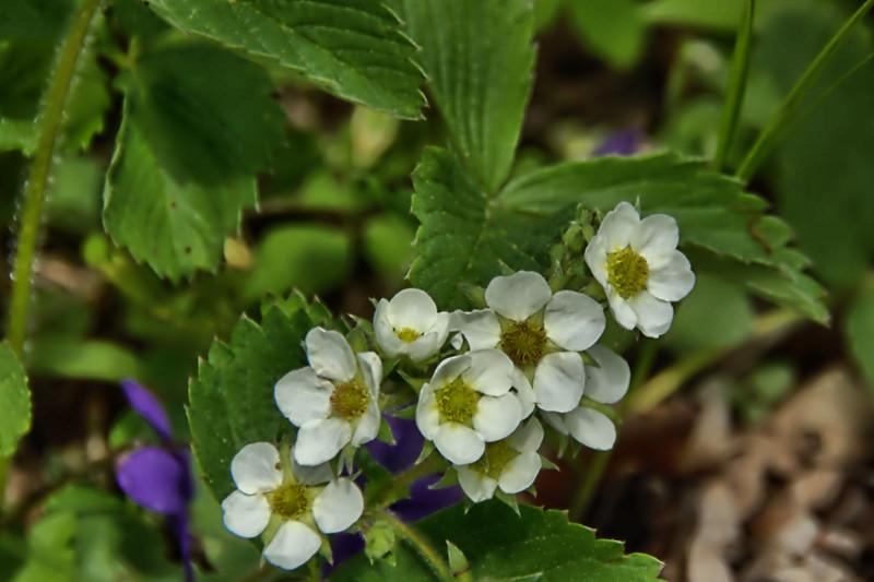 Rosaceae -  Fragaria vesca - Wild Strawberry