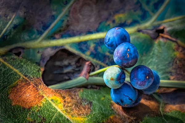 Leaf and Blue Berries