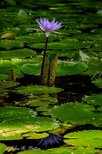 Water lily. IV