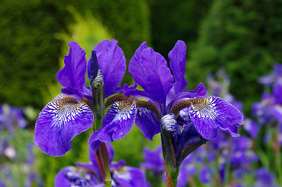 Two iris sibirica flowers.