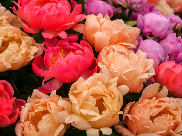 Colorful peonies
