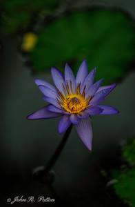 Water lily. VII