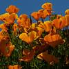 Poppies 8845