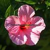 Hibisicus flower.