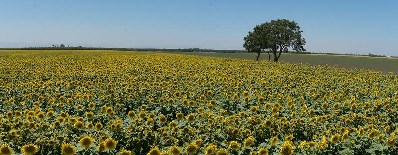 Sunflowers 2882 Pan