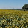 Sunflowers 2882 Pan