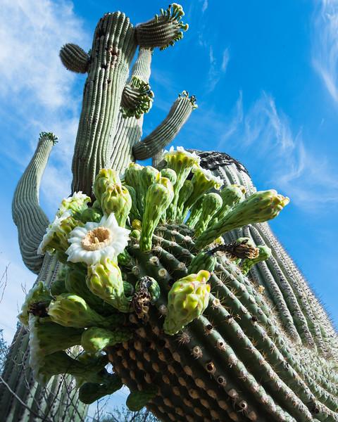 Saguaro Blossoms
