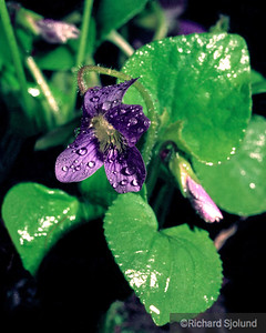 Violet flower with dew
