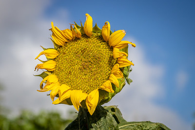 Dying Sunflower