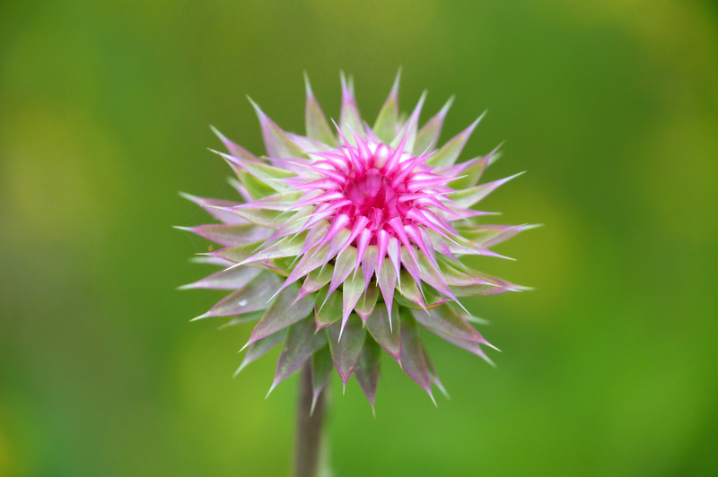 Opening Musk Thistle (Carduus nutans)
