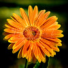 golden orange daisy-1
