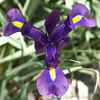 My Deep Purple Dutch Iris
