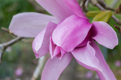 Pink magnolia bloom