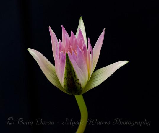 Water Lily - beginnings