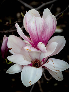 Northern Magnolia