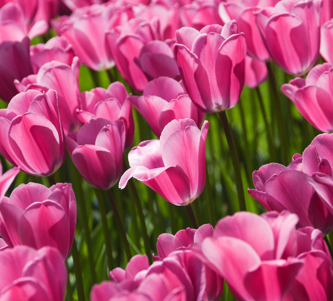 Bright pink tulips