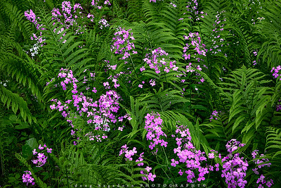 Dame's Rocket and Ferns (#0196)