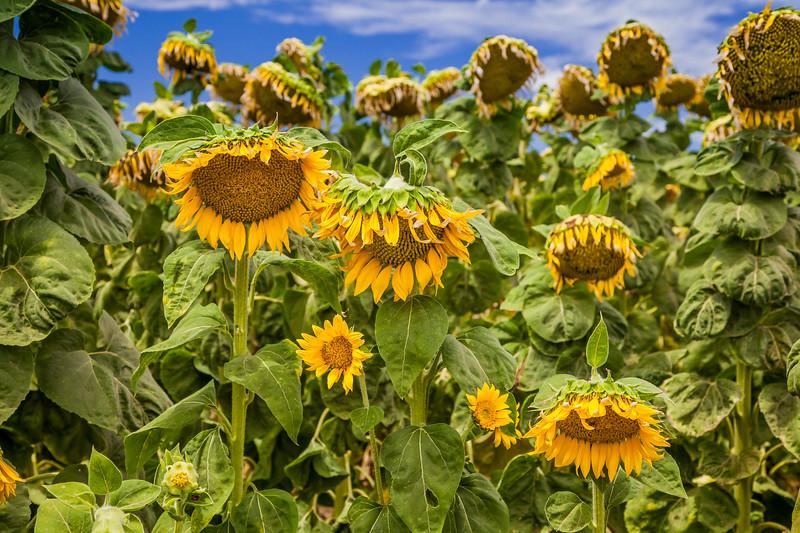 California Sunflower Fields 1