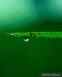 Grass Blade with water drop