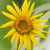 Crying Sunflower