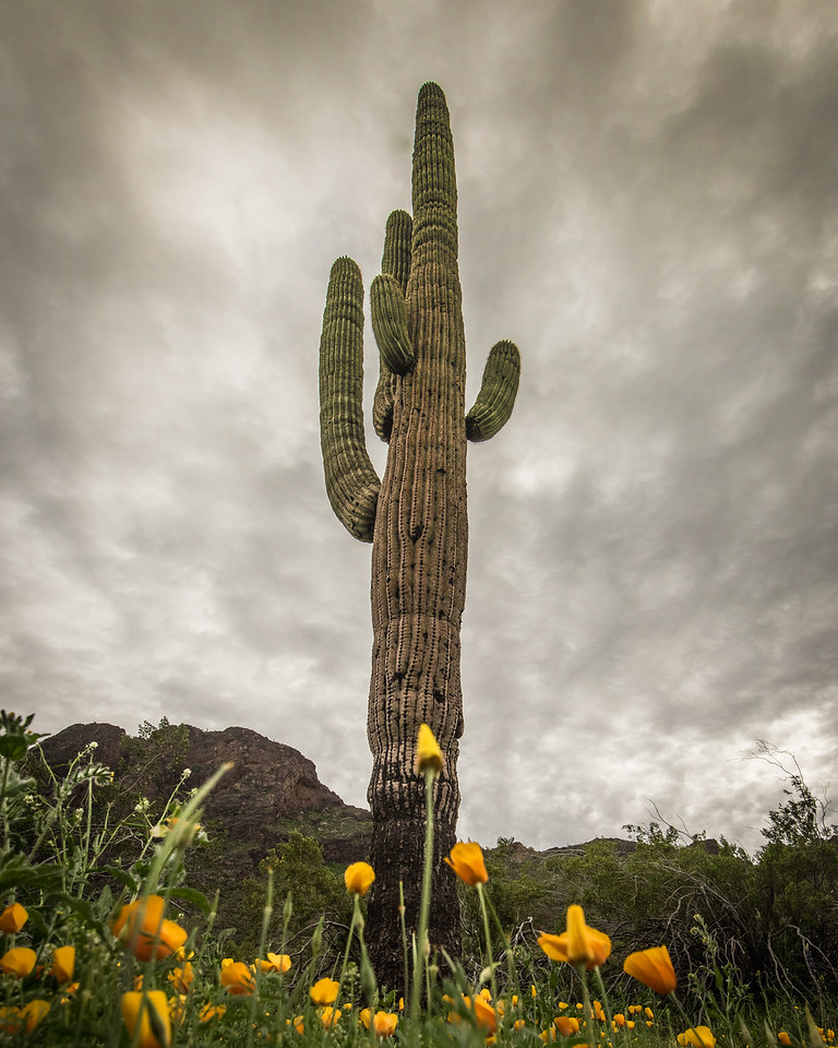 Poppies with Saguaro