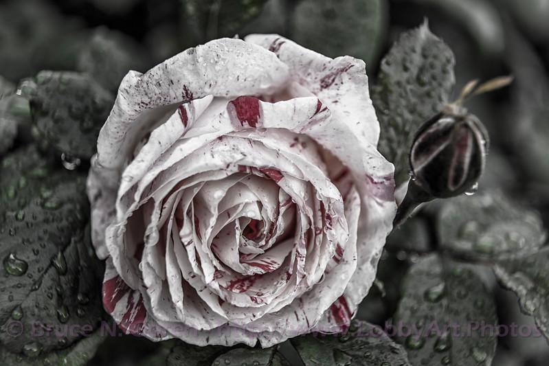 Sally's Rose