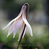 My First Trout Lilies View 2