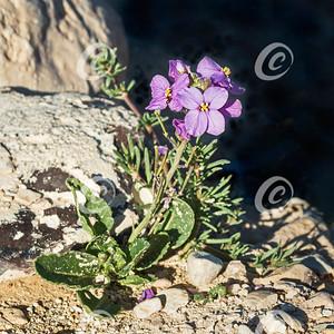 Desert Rocket Wildflower in Nahal Akev in Israel