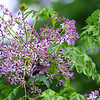 Chinaberry Blossoms With Pipevine Swallowtail