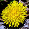 Who Knew Dandelions Look Really Cool Close Up?