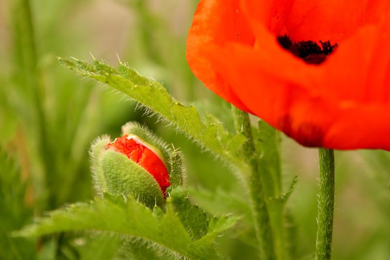 Oriental Poppy, Bellingham, Washington