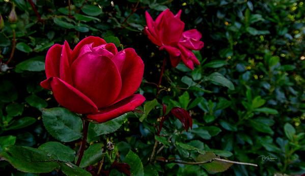 Rose memories