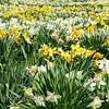 Daffodil field, Tower Hill Botanic Garden, Boylston, MA
