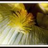 The Beard of a Bearded Iris