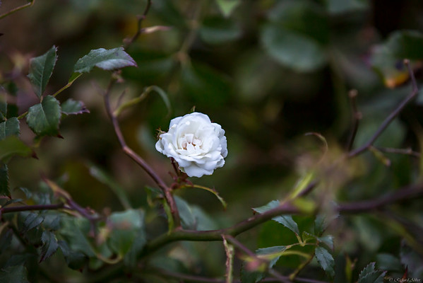 miniature rose sept 7, 2015