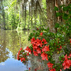 Azaleas flowers blooming by the lake