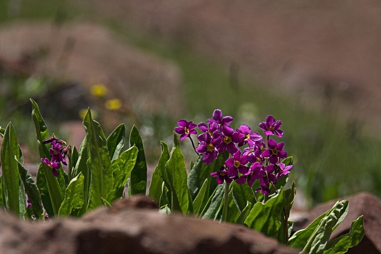 Primula angustifolia - Alpine primrose