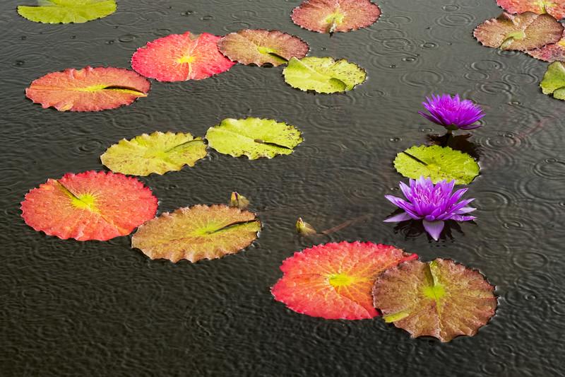 Rain on Water Lilies