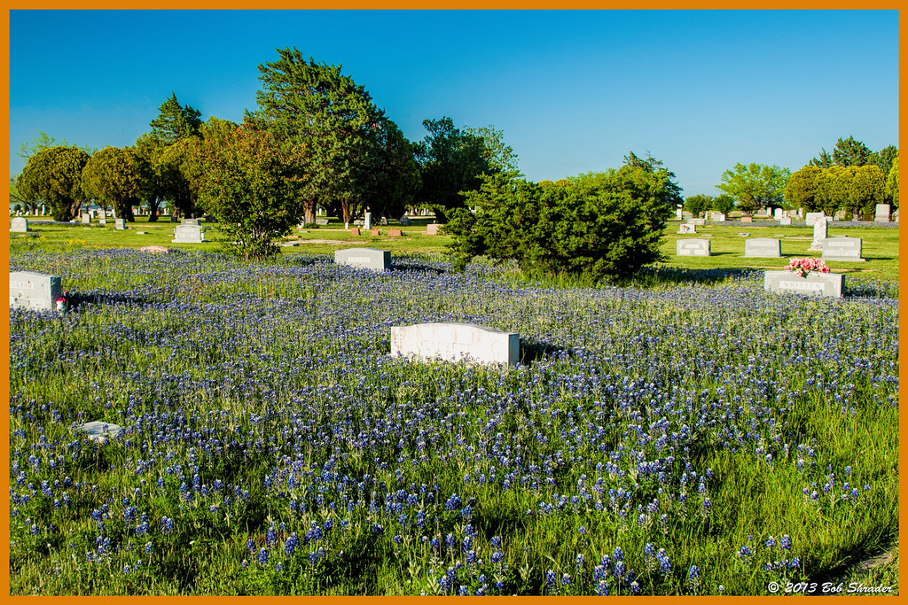 Bluebonnets in the Ross Cemetery