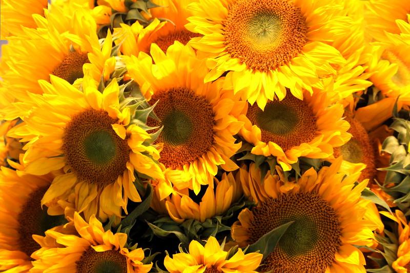 Sunflowers en Masse